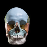 Model of a human skull. Front view model skull,cranial bones are differentiated by colors Stock Photography