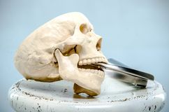 A model of a human skull with a laryngoscope in the mouth on a white surface. royalty free stock image