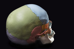 Model of a human skull. Rear view model skull,cranial bones are differentiated by colors Stock Photo