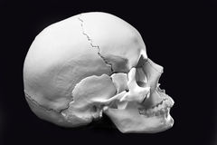 Model of a human skull. Side view model skull,cranial bones are differentiated Royalty Free Stock Photos