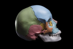 Model of a human skull. Side view model skull,cranial bones are differentiated by colors Royalty Free Stock Photography