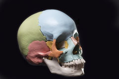 Model of a human skull. Three quarter view Model of a human skull Royalty Free Stock Photos