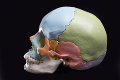 Model of a human skull. View model skull,cranial bones are differentiated by colors Stock Photos