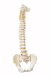 Model of human spine royalty free stock photography