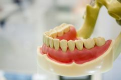 Model of human teeth of the human jaw. Close-up stock photography