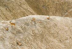 Model ibex in Zin river Stock Photo