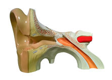 Model of inner ear. Model of a human inner ear Stock Photos