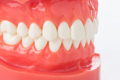Model of jaw with teeth. Model of the jaw with teeth royalty free stock image