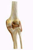 Model knee. Knee model from behind showing cartilage and ligaments Stock Images