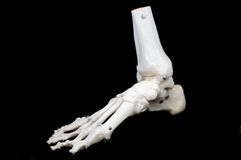 Model of a skeletal foot. A highly detailed articulated model of a human foot, with all the bones represented, from the toes to just past the ankle stock images