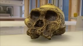 Model skull of Australopithecus africanus in a laboratory stock video