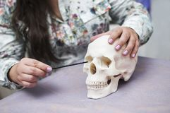 The model of the skull in the hands of a doctor in a medical salon stock photo