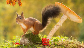 Model squirrel Stock Image