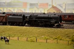 Model train steam engine & coal car with jersey cows Royalty Free Stock Images