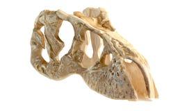 Model Tyrannosaurus head Royalty Free Stock Images
