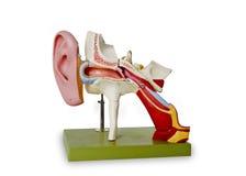 Model van auditief kanaal royalty-vrije stock afbeelding