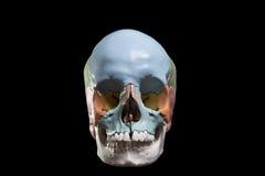 Model van een menselijke schedel Stock Foto's