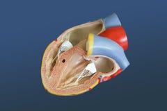 Model van het menselijke hart Royalty-vrije Stock Afbeelding