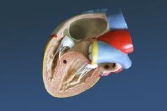 Model van het menselijke hart Royalty-vrije Stock Fotografie