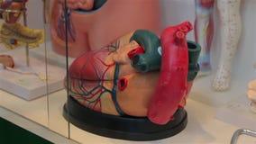 Model van menselijk hart stock footage