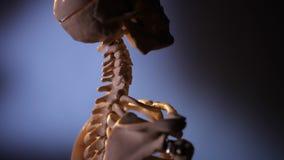 Model van menselijk skelet stock video