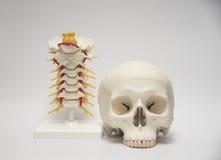 Model van menselijke schedel en cervicale stekel Stock Fotografie
