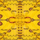 Modele a textura da asa de seda amarela e vermelha G da borboleta de sikkim Imagem de Stock