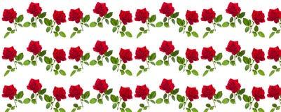 Modelez la rose de rouge sur une tige des feuilles vertes Photographie stock libre de droits