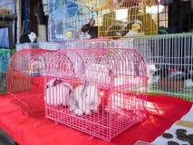 Modelez le lapin, le petit lapin pelucheux mignon dans la cage au Photographie stock libre de droits