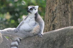 Modeling lemur Royalty Free Stock Photography