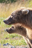 Modeling of mother brown bear and cub Stock Photography