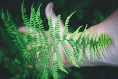 Modell av den gröna ormbunken arkivbild