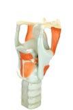 Modell av den mänskliga struphuvudet eller den voive asken med röst- kablar Royaltyfri Fotografi