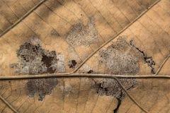Modell av det bruna bladet Arkivfoton