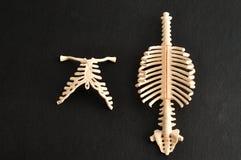 Modell av en mänsklig rygg och ribcage arkivbild