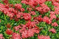 Modell av Ixora den Chinensis (den kinesiska ixoraen) Lamk blomman royaltyfria bilder
