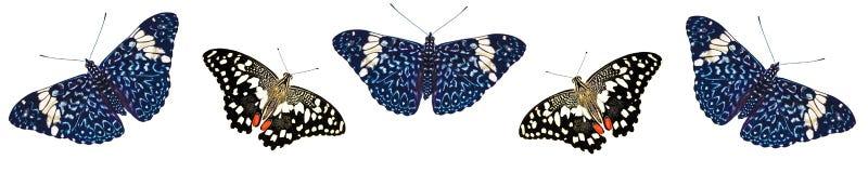 Modell av limefruktswallowtail- och smällarefjärilar som isoleras på vit bakgrund Royaltyfria Bilder