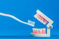 Modell av tänder Royaltyfria Foton