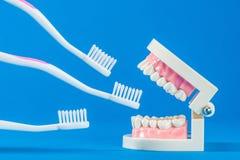 Modell av tänder Royaltyfri Bild