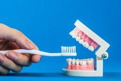 Modell av tänder Arkivfoton