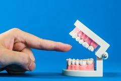 Modell av tänder Arkivbild