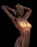modell 3D av muskler av den kvinnliga torson för studie, med bröstet i fo Royaltyfri Foto