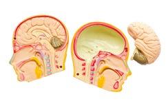 Modell des Gehirns im Schädel. Stockfotos