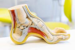 Modell des menschlichen Fußes der Anatomie Lizenzfreies Stockfoto