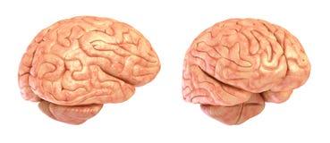 Modell des menschlichen Gehirns 3D, Stockfoto
