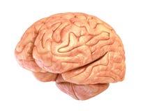 Modell des menschlichen Gehirns, lokalisiert Lizenzfreies Stockbild