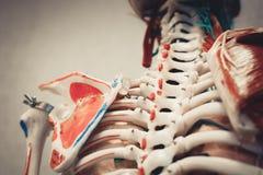 Modell des menschlichen Körpers der Anatomie Stockbild