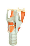 Modell des menschlichen Kehlkopfes oder des voive Kastens mit Stimmbändern Lizenzfreie Stockfotografie
