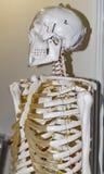 Modell des menschlichen Skeletts Lizenzfreie Stockfotos