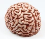Modell eines Gehirns Stockfoto